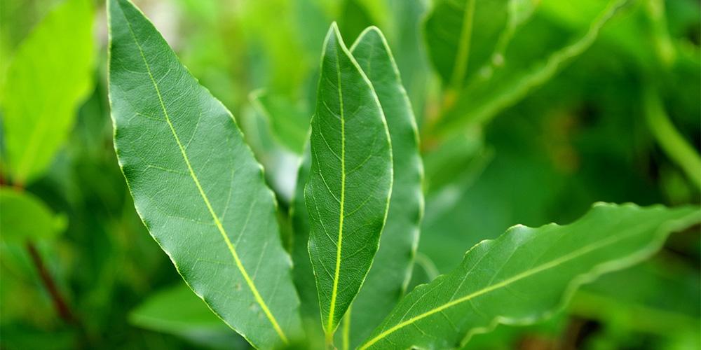 クスノキの葉