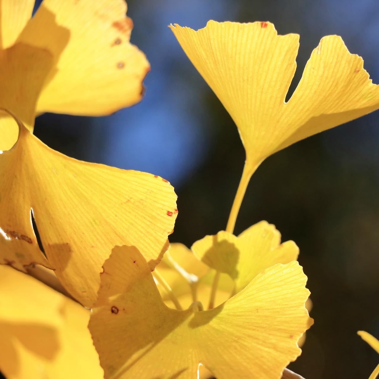 イチョウ葉の画像