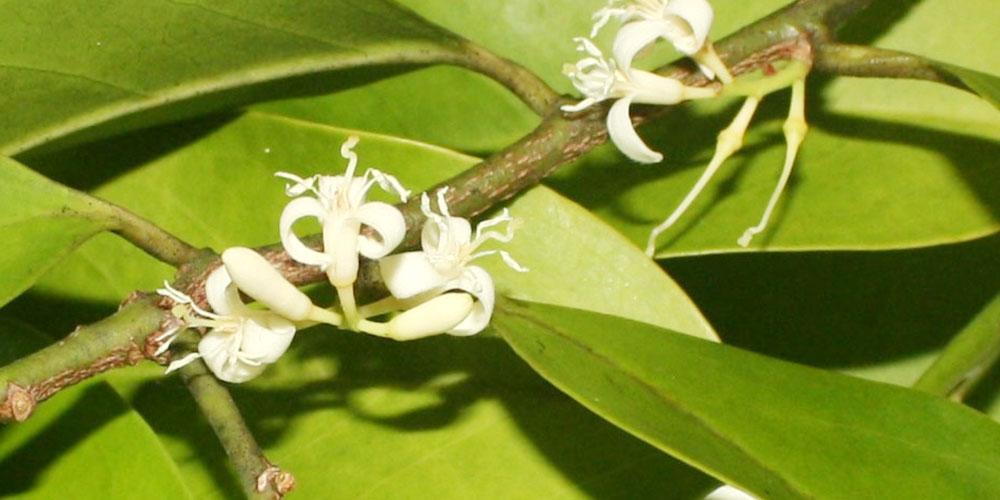 ムイラプアマの花