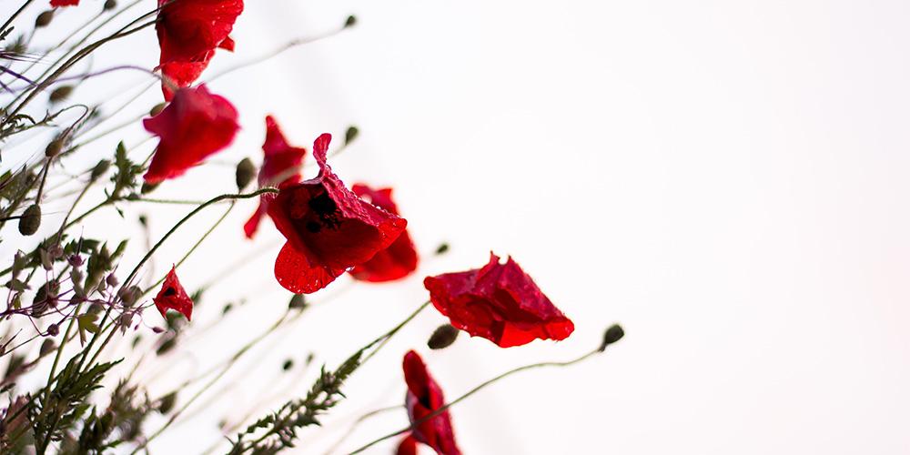 萎えている赤い花