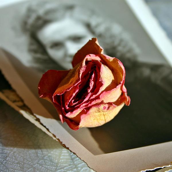 乾燥した薔薇